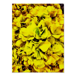 Pétalo amarillo colorido de la flor del Hydrangea  Póster
