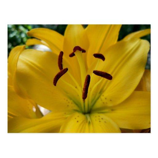 Pétalos curvados lirio amarillo tarjeta postal