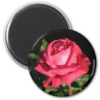 Peter Frankenfeld Hybrid Tea Rose 001 Magnet