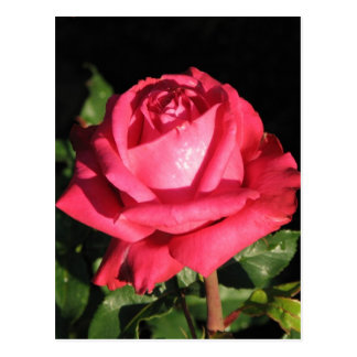Peter Frankenfeld Hybrid Tea Rose 001 Postcard