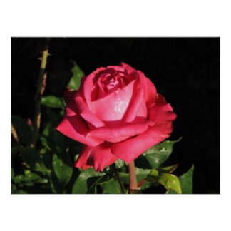 Peter Frankenfeld Hybrid Tea Rose 001 Poster