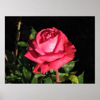 Peter Frankenfeld Hybrid Tea Rose 001 Posters