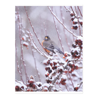 Petirrojo americano del guerrero en invierno postales