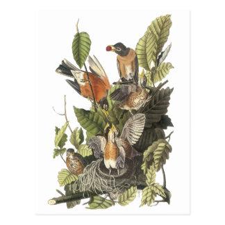 Petirrojo americano impresión de Juan Audubon Postal