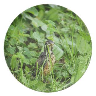 Petirrojo del bebé en la hierba platos