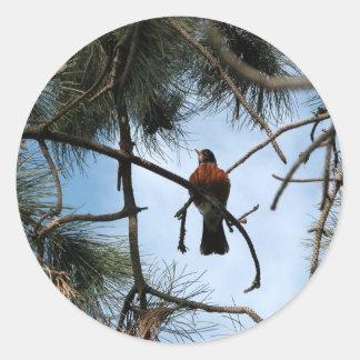 Petirrojo en un árbol de pino etiqueta redonda