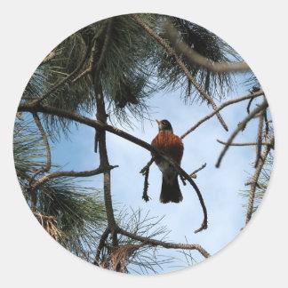 Petirrojo en un árbol de pino pegatina redonda