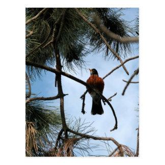 Petirrojo en un árbol de pino postal