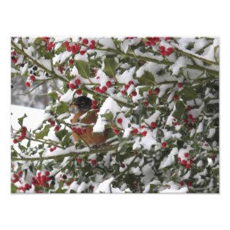petirrojo que abriga en un árbol de acebo después impresión fotográfica