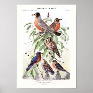 Petirrojo y Bluebird Póster
