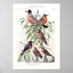 Petirrojo y Bluebird Posters
