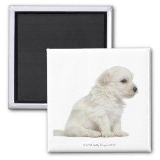 Petit chien lion or Little Lion Dog puppy 2 Inch Square Magnet