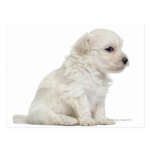 Petit chien lion or Little Lion Dog puppy Postcard