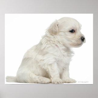 Petit chien lion or Little Lion Dog puppy Poster