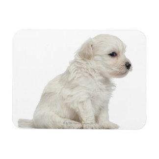 Petit chien lion or Little Lion Dog puppy Rectangular Photo Magnet