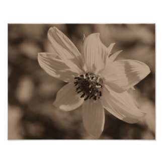 Petite Sunflower In Sepia Brown Poster