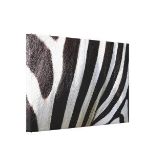 pets-102483 pets zebra stripes FASHION BACKGROUNDS Canvas Print