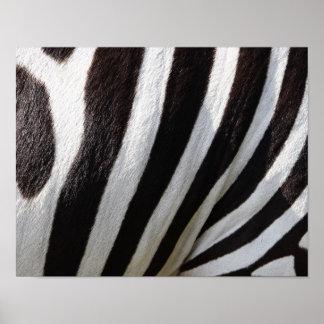 pets-102483 pets zebra stripes FASHION BACKGROUNDS Posters