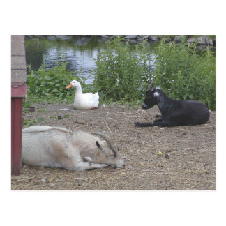 Pets at Rest Postcard
