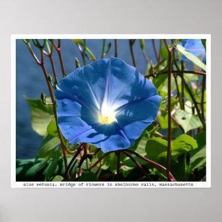 Petunia azul en el puente de flores, Massachusetts Poster