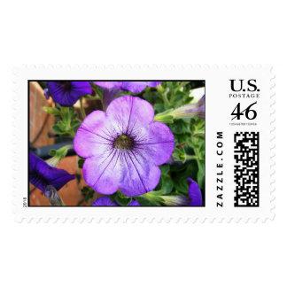 Petunia púrpura