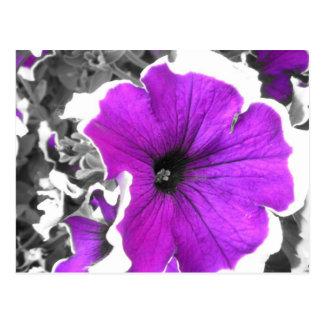 Petunias blancos y negros teñidas púrpura tarjetas postales