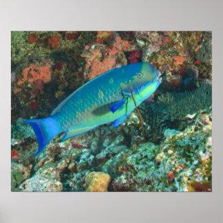 Pez papagayo cerca de la isla de Taveuni, Fiji, de Póster
