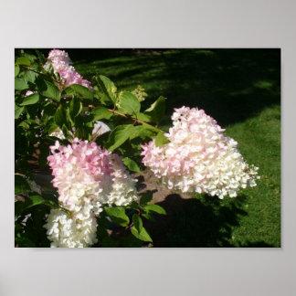 PG Hydrangea Blossoms Poster