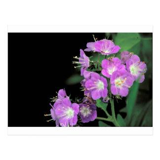 phacelia púrpura postal