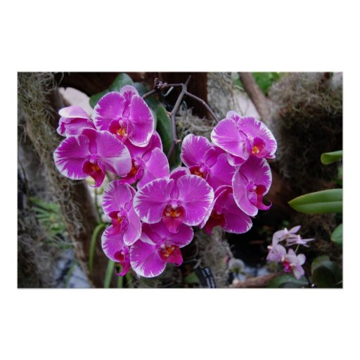 Phalaenopsis Orchid in Natural Habitat Poster