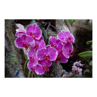 Phalaenopsis Orchid in Natural Habitat Posters