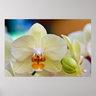 Phalaenopsis Orchid Print