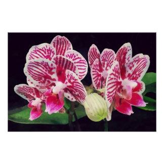 Phalaenopsis Orchid Taida Little Zebra Perfect Poster