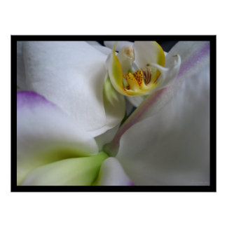 Phalaenopsis White Orchid Poster Prints