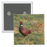 Pheasant Buttons
