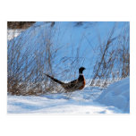 pheasant in the evening postcards