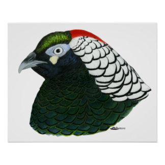 Pheasant:  Lady Amherst Rooster Poster