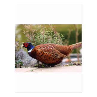 Pheasant Post Card