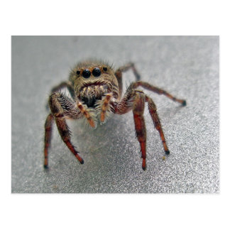 Phiddipus Jumping Spider Series Matching Items Postcard