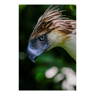 Philippine Eagle Portrait Poster