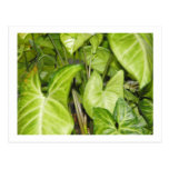 Philodendron Post Card