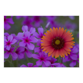 Phlox and Indian Blanket near Devine Texas Poster