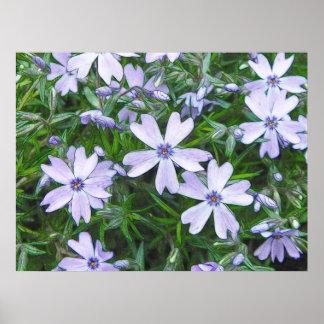 Phlox azul bonito del arrastramiento impresiones