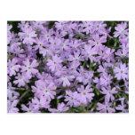 Phlox púrpura bonito tarjetas postales