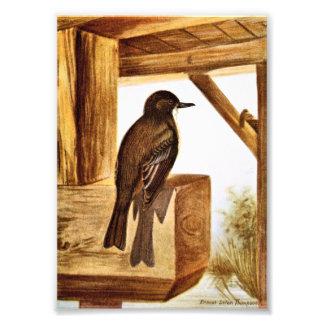Phoebe Bird Illustration Photo Art