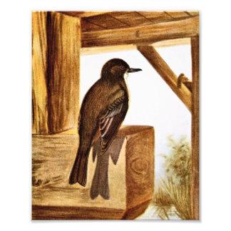 Phoebe Bird Illustration Art Photo