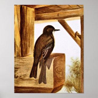 Phoebe Bird Illustration Poster