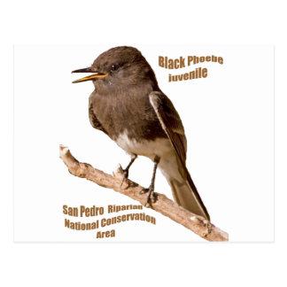 Phoebe negro tarjeta postal