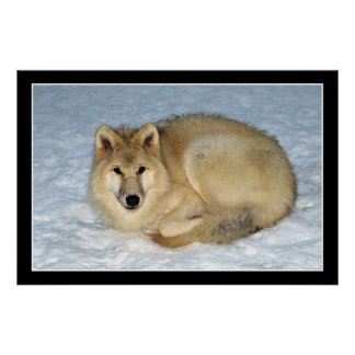Photo Arctic Wolf (Polar Wolf, White Wolf) Poster