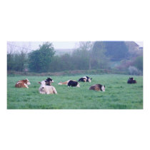 Photo Card - Cows In Colour